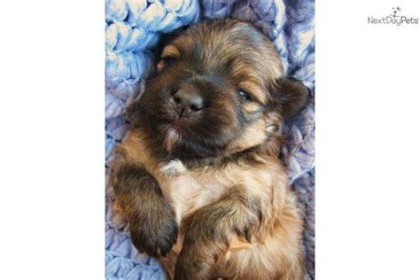 havanese puppies spokane wa havanese for sale for 2 000 near spokane coeur d alene washington 500f1afb a531