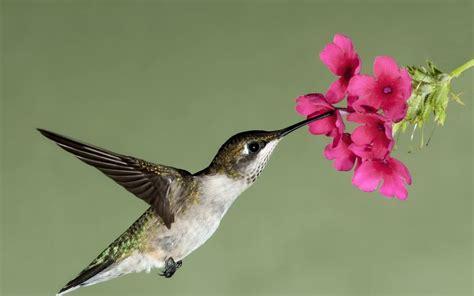 colibr fondos de pantalla 1920x1200 432 vuelo colibr 237 flor flores n 233 ctar fondos de pantalla gratis