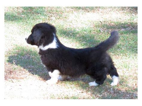cardigan corgi puppies for sale cardigan corgi puppies for sale johannesburg puppies for sale