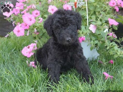 airedoodle puppies 17 best images about canines a on akbash airedale terrier and