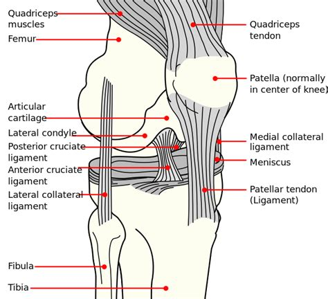 diagram of knee the patella some hints andreacollo