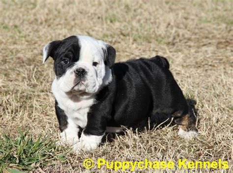 black and white bulldog puppy bulldog black and white puppy www pixshark images galleries with a bite