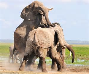 the animal zone raging bull elephants fight for supremacy