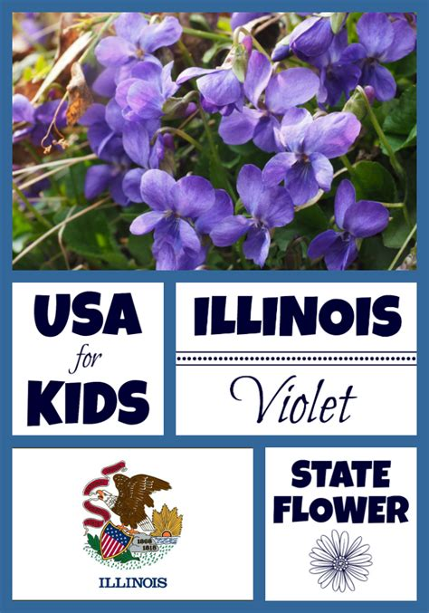 state flower of illinois illinois state flower violet by usa facts for kids