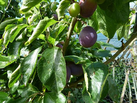 potted trees uk potted fruit trees suffolk fruit and trees the fruit