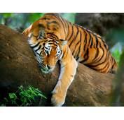 Nuevas Im&225genes HD De Tigres  Fondos Escritorio Gratis