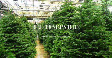 where to buy a real christmas tree in belfast there s nothing like a real tree here s where to buy them care tips