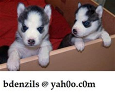 pomeranian puppies for sale in amarillo tx dogs free classified ads