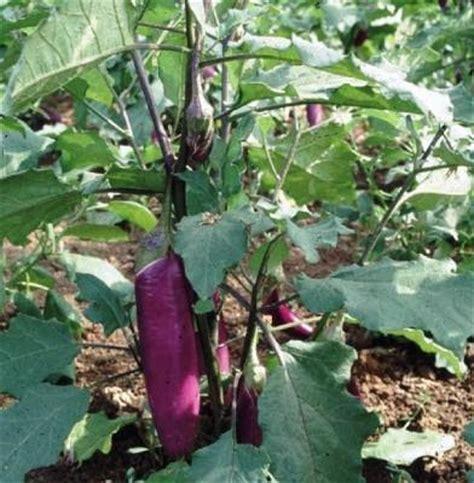 Bibit Terong Jepang budidaya tanaman terong arif s