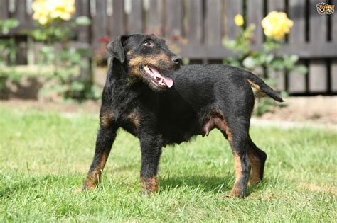 german jagdterrier puppies for sale jagdterrier breed information buying advice photos and facts pets4homes