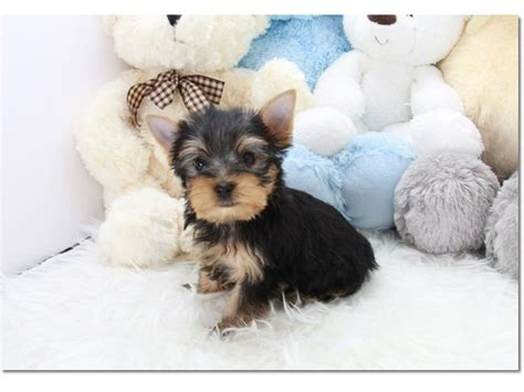 yorkie puppies for sale 200 dollars pretty t cup yorkie puppies animals middletown delaware announcement 33337