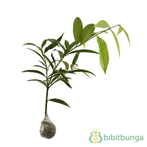 tanaman mahkota dewa