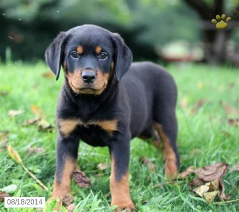 rottweiler for sale in arkansas 17 best ideas about rottweiler puppies for sale on german rottweiler baby
