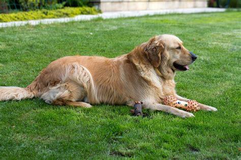 golden retriever and labrador retriever mix labrador mix mischling