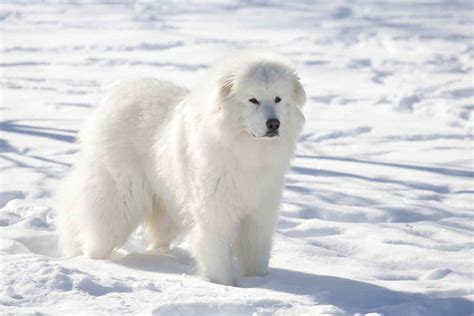 great white pyrenees puppies meet the great pyrenees dogs protective by nature and born guardians