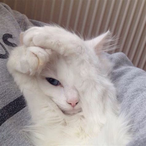 ragdoll que significa cat kitten pale white cat