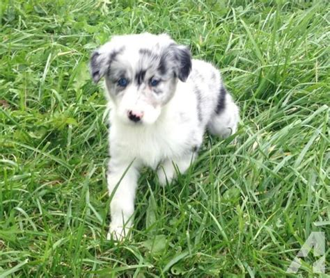 australian shepherd puppies for adoption australian shepherd puppies for adoption nsdr for sale in batesville indiana