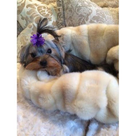 yorkie breeders in ca terrier yorkie breeders in california freedoglistings
