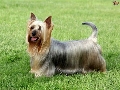 yorkie silky puppies yorkie a silky terrier the differences in the breeds pets4homes