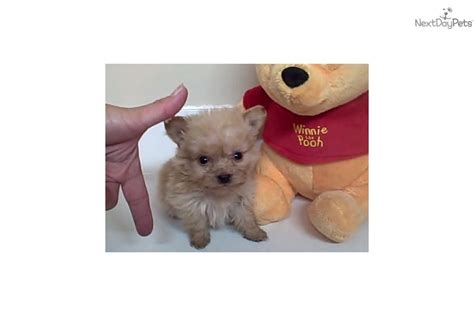 teacup pomapoo puppies for sale pin yorkie poo puppy pictures on