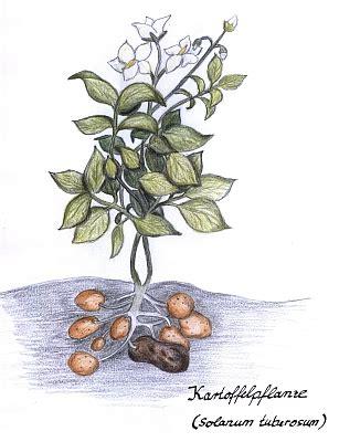 Wie Pflanze Ich Kartoffeln 4632 by Kartoffelpflanze Images About News