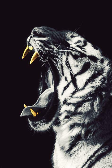 wallpaper tumblr tiger tiger hd tumblr