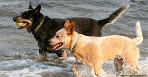 hyperactive dogs the top ten hyperactive dog breeds that require the most