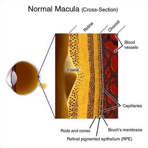 What Does Cross Section by The Eye Defects Research Foundation Macular Degeneration