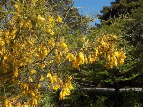 fiori dalle grandi corolle la sofora giappone o sophora japonica