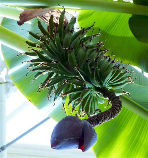 tiny musa banana tree 100 tiny musa banana tree banana triad plant
