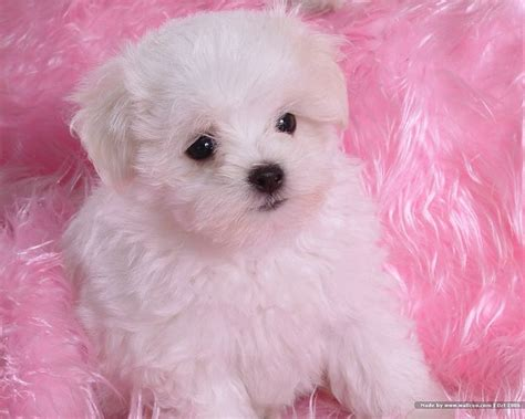pictures of baby dogs 1600 1200 fluffy maltese puppy on fluffy blankets 17 wallcoo net