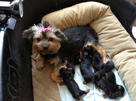 yorkie litter size teacup terrier part of seven pup litter gives birth to seven pups to