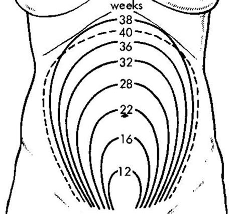 cervix diagram during pregnancy uterus growth during pregnancy just for liam