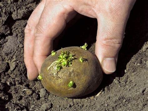 lada per coltivazione cannabis piantare patate ortaggi consigli per piantare le patate