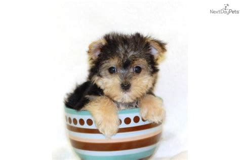 teacup yorkie shedding pictures of tea cup non shedding dogs breeds picture