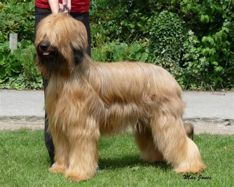 Briard Shedding by Grooming Stormsmist Briards