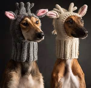Here gratuitous pics of pissed off reindeer dogs