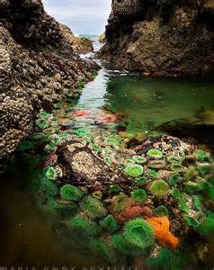 tide pools with green anemones anthopleura xanthogrammica