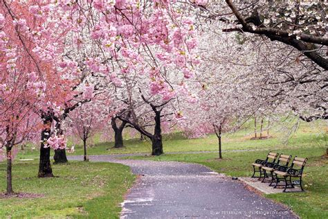 cherry tree 2018 branch brook park cherry blossom festival 2018 splurgefrugal