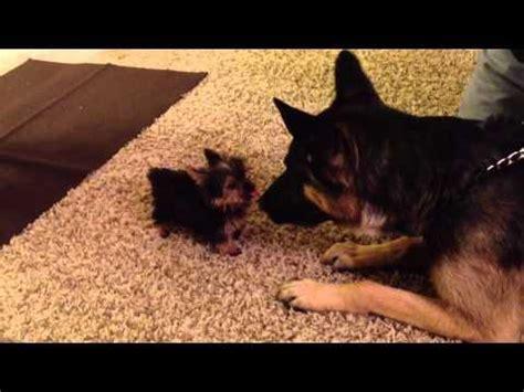 german shepherd and yorkie teacup yorkie puppy meets german shepherd