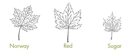 What Type Of Tree Is Used To Make Paper - how to tap maple trees and make syrup the readyblog