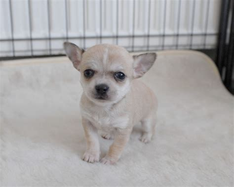 chihuahua puppy for sale chihuahua puppy image adoption breeds picture