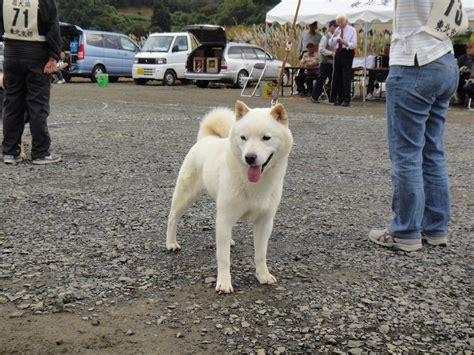 1000+ images about Hokkaido Inu on Pinterest
