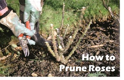 how to prune roses amateur gardening