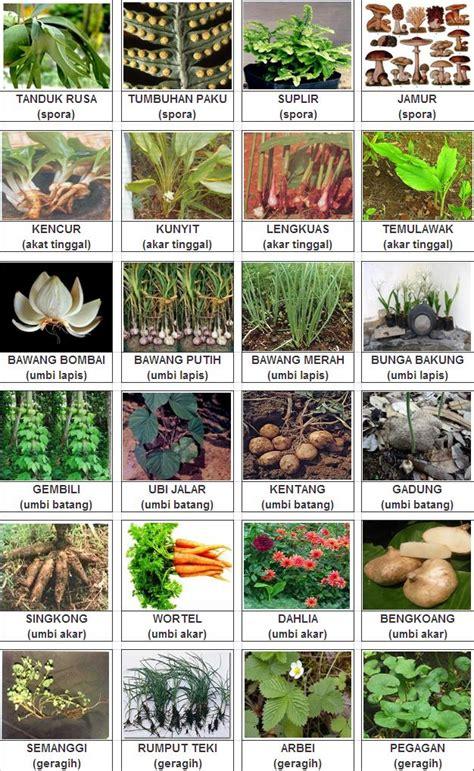 Teh Rumput Teki perkembangbiakkan tanaman secara vegetatif vini