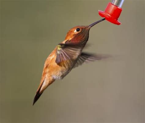 different types of hummingbirds with pictures that nature