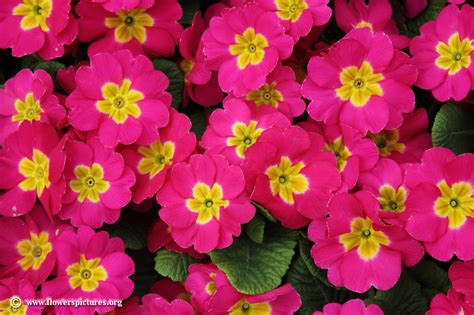 image for flowers primula flower picture 14