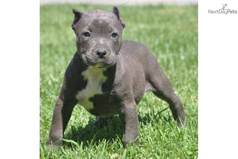 pitbull puppies for sale in pittsburgh meet a american pit bull terrier puppy for sale for 800 sold to josh from pittsburgh