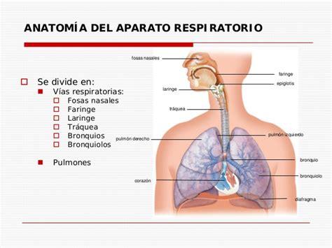 anatomia del sistema respiratorio anatom 237 a y fisiolog 237 a del aparato respiratorio