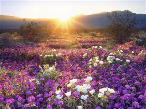 desert flowers anza borrego verbenas e flores selvagens ao p 244 r do sol parque estadual